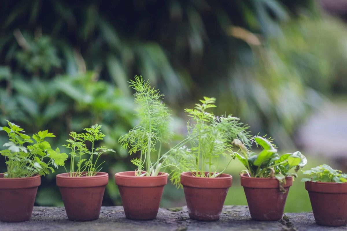 home grown herbs in pots on garden wall
